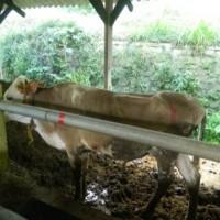 Lelang Non Eksekusi Wajib BMD permohonan BPKPAD Kab Batang:  Dijual dalam 1 (satu) paket hewan ternak