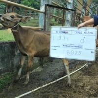 1. Sapi bali Jantan no eartage 18025 berat badan 69,5kg di Kota Pangkal Pinang