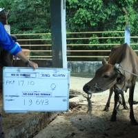 2. Sapi bali Betina no eartage 19643 berat badan 160,5kg di Kota Pangkal Pinang