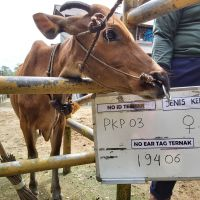 3. Sapi bali Betina no eartage 19406 berat badan 201,5kg di Kota Pangkal Pinang