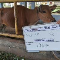 4. Sapi bali  Betina no eartage 19646  berat badan 156 kg di Kota Pangkal Pinang