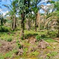 BRI Cabang Dharmasraya (LOT 4) : 1 bidang tanah kebun sawit dengan total luas 20000 m2 di Kabupaten Dharmasraya
