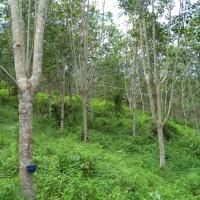 BRI Panyabungan - 2.a tanah seluas 2.496 m2 di Desa/Kel. Tebing Tinggi, Kec. Panyabungan Timur, Kabupaten Mandailing Natal