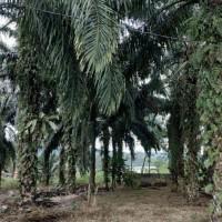 BRI Cab. Sibuhuan-1 a. Tanah seluas 899 m2 di Desa/Kel. Pasar Sibuhuan, Kecamatan Barumun, Kabupaten Padang Lawas