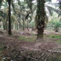 BRI Bangkinang-4. Tanah, luas 20.000 m2, SHM 1223, di Blok G1 Plasma Sibuak, Kel/Desa Petapahan, Kec. Tapung, Kab. Kampar