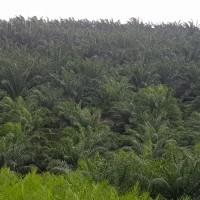 Sebidang tanah dengan total luas 24.891.319 m2 berikut segala sesuatu diatasnya terletak di Kabupaten Kaur