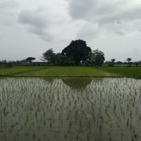 BRI Jember - Sebidang tanah dengan luas 10.415 m2, SHM No. 226/Pancakarya, Kabupaten Jember