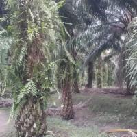 1 bidang tanah dengan total luas 21000 m<sup>2</sup> di Kabupaten Merangin