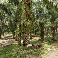 PT. BRI KC PANYABUNGAN : Tanah seluas 17.159 m2, SHM No.301 An.Elmiati Lubis, di Desa Bangun Saroha Kec. Ranto Baek