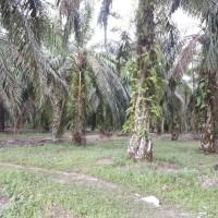 PT. BRI KC PANYABUNGAN : Tanah seluas 19.994 m2, SHM No.1 An.Samsul Bahri, di Desa Simaninggir Kec. Ranto Baek