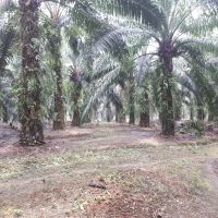 PT. BRI KC PANYABUNGAN : Tanah seluas 19.987 m2, SHM No.3 An. Samsul Bahri, di Desa Simaninggir Kec. Ranto Baek