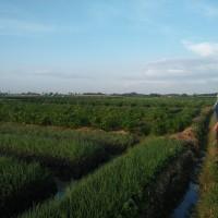 BRI TEGAL : 1 bidang tanah dengan total luas 2800 m2 di Kabupaten Brebes