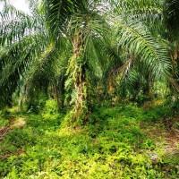 4. Sebidang tanah seluas 10.493 M2, SHM, di Desa Perupuk Kecamatan Bandar Pusaka Kabupaten Aceh Tamiang