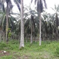 PT. BRI (Persero) Tbk Cabang Kota Pinang: 2c. 1 bidang tanah luas 19800 m2 di Kabupaten Labuhan Batu Selatan