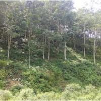 BRI Dharmasraya Lot 2b, Tanah dan kebun karet, SHM No.670/Nagari Siguntur, Lt 5985m2, terletak di Kec. Sitiung, Dharmasraya.