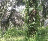 BTPN Lot f, Sebidang Tanah sesuai SHM No.1843, Lt 20.000 m2 terletak di Nagari Koto Padang, Kec. Koto Baru, Kab. Dharmasraya