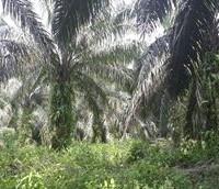 BTPN Lot g, Sebidang Tanah sesuai SHM No.1841, Lt 17.405 m2 terletak di Nagari Koto Padang, Kec. Koto Baru, Kab. Dharmasraya