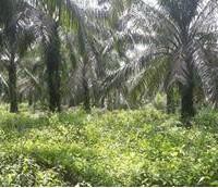 BTPN Lot c, Sebidang Tanah sesuai SHM No.1842, Lt 18.834 m2 terletak di Nagari Koto Padang, Kec. Koto Baru, Kab Dharmasraya
