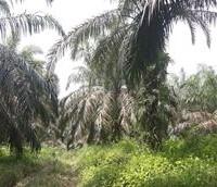 BTPN Lot e, Sebidang Tanah sesuai SHM No.1839, Lt 15.663 m2 terletak di Nagari Koto Padang, Kec. Koto Baru, Kab. Dharmasraya.
