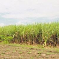 (Bina Ummat Sejahtera) 2b. Sebidang tanah pertanian di Ds. Kunir, Sulang, Rembang