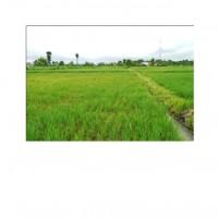 BRI Bondowoso 2a) Tanah Sawah,  SHM No. 141 dan 142/Desa Cermee LT. 1.628 m2, Desa Cermee, Kec. Cermee, Kab. Bondowoso
