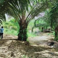 KSP Sahabat Mitra Sejati: 3d. Tanah seluas 516 m2, SHM No.10 di Kel. Hutaraja, Kec. Muara Batang Toru, Kab. Tapanuli Selatan