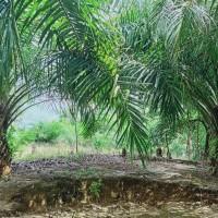 KSP Sahabat Mitra Sejati: 3c. Tanah seluas 1.910 m2, SHM No.09 di Kel. Hutaraja, Kec. Muara Batang Toru, Kab. Tapanuli Selatan