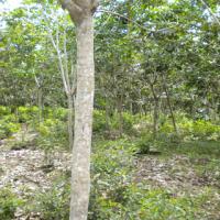 BRI Dharma (2b) Tanah dan Kebun Karet SHM No.520, LT 17585 m2 Terletak di Nagari Bonjol, Kecamatan Koto Besar, Kab. Dharmasraya.