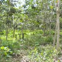 BRI Dharma (2c) Tanah dan Kebun Karet SHM No.522, LT 15375 m2 Terletak di Nagari Bonjol, Kecamatan Koto Besar, Kab. Dharmasraya.