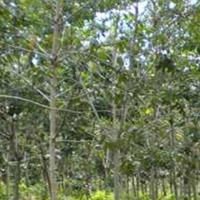 BRI Dharma (2e) Tanah dan Kebun Karet SHM No.519, LT 17655 m2 Terletak di Nagari Bonjol, Kecamatan Koto Besar, Kab. Dharmasraya.