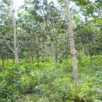 BRI Dharma (2d) Tanah dan Kebun Karet SHM No.518, LT 18705 m2 Terletak di Nagari Bonjol, Kecamatan Koto Besar, Kab. Dharmasraya.