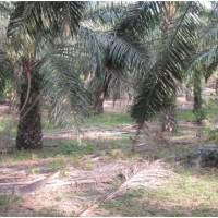 BRI Sijunjung Lot 1b.Sebidang tanah dan kebun sawit SHM No.388 Luas 5.230 M2 di  Nagari Ranah Palabi Kec Timpeh Kab Dharmasraya