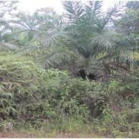 BRI Sijunjung Lot 1a.Sebidang tanah dan Kebun Sawait SHM No.12 Luas 4.900 M2 di  Nagari Ranah Palabi Kec Timpeh Kab Dharmasraya