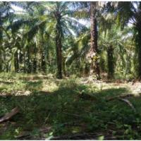 [PNM] 2. Sebidang Tanah seluas 18.793 M² beserta turutan, SHM No. 10234, Nagari Lingkuang Aua Kecamatan Pasaman Kabupaten Pasaman Barat