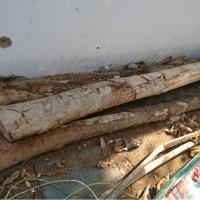 (Kejari Jepara) 11. 3 (tiga) batang kayu