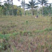 BRI Bondowoso 2a) Sebidang tanah seluas 5.796 m2 berupa SHM No. 149 terletak di Desa Maskuning Kulon, Kecamatan Pujer, Kabupaten Bondowoso