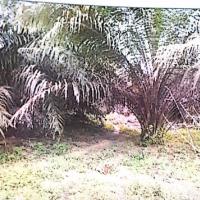 BNI Rantau Prapat : h.Sebidang tanah seluas 9.521 m2 berikut tanaman diatasnya dengan Sertipikat Hak Milik No. 2209 di Desa Binanga Dua