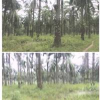 Bank Mandiri - Sebidang tanah  seluas 19.600 M2 SHM No 00141 (d/h 04969) di Desa Kencana ,Kec Balai Jaya , Kab Rokan Hilir, Prov Riau