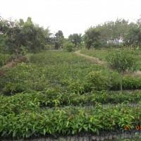 BNI 6 : Tanah kebun seluas 3.500 m2 terletak di Desa Salagedang, Majalengka