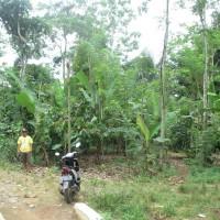 BRI Pringsewu 1a - Sebidang tanah kebun seluas 2.477 m2, SHM No. 111 di Desa Batu Bedil, Kecamatan Pulau Panggung, Kabupaten Tanggamus