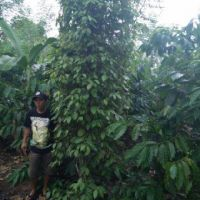 BRI Pringsewu 1e - Sebidang tanah kebun seluas 7.355 m2 SHM No. 87 di Desa Batu Bedil, Kecamatan Pulau Panggung, Kabupaten Tanggamus