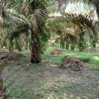 @BNI R3 PLMBG : sebidang tanah kebun sawit luas 39.150 m2, sertifikat SHM, terletak di Kabupaten Muaro Jambi