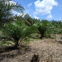 BRI Tanjungbalai: c.Tanah luas 3.187 m2 & kebun sawit (SHM No. 1829) di Desa Ledong Barat, Kec Aek Ledong, Kab. Asahan
