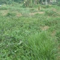 (PT.PNM) Sebidang tanah  SHM No.555 dengan luas tanah 255 m2 terletak di Kel. Tagari Tallunglipu, Kec. Tallunglipu, Kab. Toraja Utara