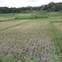 BPRS Mitra Harmoni: Sebidang tanah sawah SHM No. 14946/Bangunjiwo luas 1.348M2,terletak di Desa Bangunjiwo,Kec.Kasian,Kab.Bantul,Prov. DIY