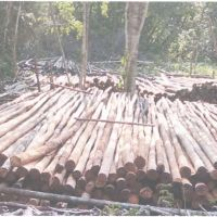 Polres Kubu Raya 3: Kayu cerucuk jenis campuran sejumlah 528 batang dengan volume 117,30 M3