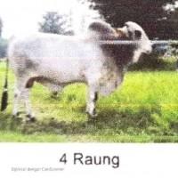 BBIB Singosari - 1 (satu) ekor sapi pejantan an. Raung kondisi afkir