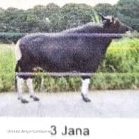 BBIB Singosari - 1 (satu) ekor sapi pejantan an. Jana kondisi afkir