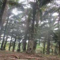 PT.PNM Pnk:4.a.Tanah Kosong SHM No.241,Lt.19.528 m2,di Desa Lesabela,Kec.Ledo,Kab.Bengkayang,Kalbar.
