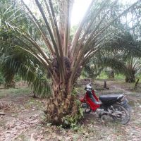 PT.PNM Pnk:7.b.Tanah Perkebunan SHM No.2624,Lt.20.150 m2,di Desa Lumbang,Kec.Sambas,Kab.Sambas,Kalbar.